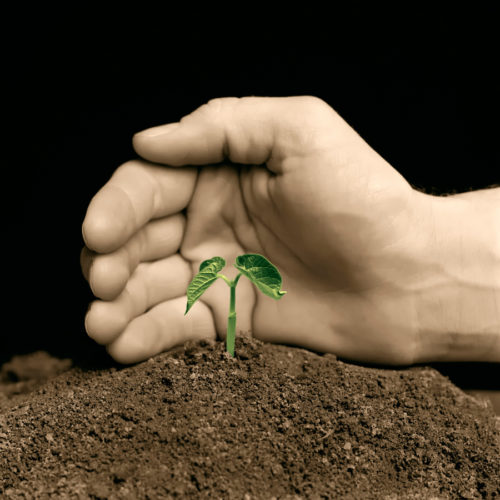 Hand protecting a young seedling plant. A hand-colored black & white photo.