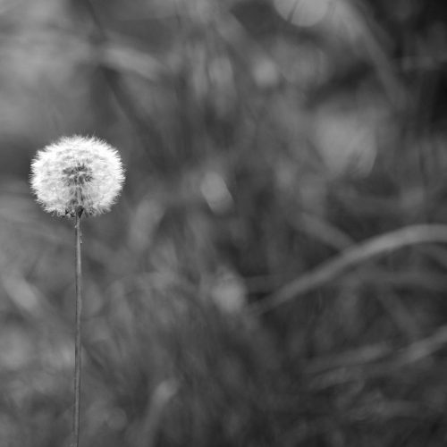 greyscale-photo-of-dandelion-seed-1058388